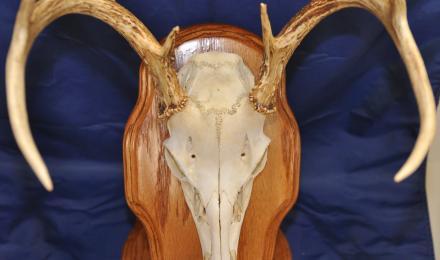 deer head b